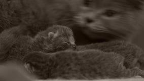 照顾她的小猫,新出生的英国Shorthair的妈妈猫 股票录像