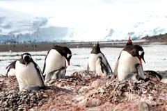 照顾小企鹅 免版税库存照片
