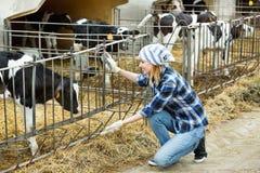 照顾小牛牧群的农场女孩 免版税库存图片