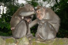 照顾彼此的猴子画象 免版税库存照片