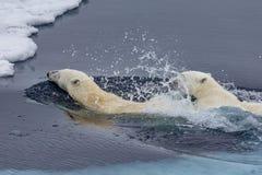 照顾教她的崽的北极熊游泳 免版税库存图片
