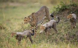 照顾猎豹和她的崽在大草原 肯尼亚 坦桑尼亚 闹事 国家公园 serengeti 马赛马拉 免版税库存照片