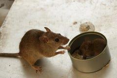 照顾观看她小的小狗的老鼠吃在锡罐里面的米 免版税库存图片
