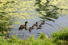 照顾鸭子用游泳在一个池塘的小的鸭子在一个晴朗的夏日 免版税库存照片