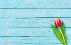 照顾` s天或华伦泰` s与一朵红色郁金香花的天背景在与拷贝空间的浅兰的木头 免版税库存照片