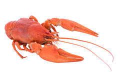 煮沸的红色小龙虾 库存照片