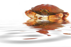 煮熟的螃蟹dungeness水 免版税库存图片
