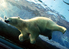 熊下潜极性水 免版税库存图片