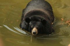 熊为浴 免版税库存照片