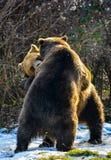 熊争吵 免版税库存照片