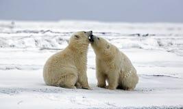 熊亲吻 库存图片