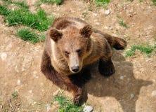 熊伯尔尼棕色崽公园瑞士 免版税图库摄影