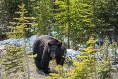 黑熊侧视图 免版税库存图片