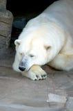 熊冰休眠 库存照片