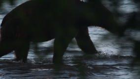 熊剪影  影视素材