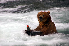 熊北美灰熊三文鱼 免版税图库摄影