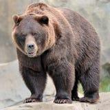 熊北美灰熊 库存照片