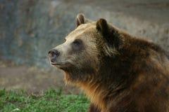 熊北美灰熊 免版税库存照片