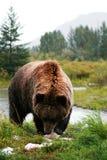 熊北美灰熊 免版税图库摄影