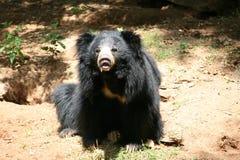 熊印地安人怠惰 免版税库存照片