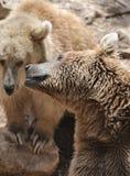熊叙利亚 免版税库存照片