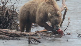 熊吃鱼 影视素材