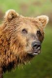 熊噘嘴 免版税图库摄影