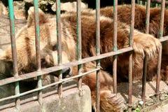熊囚禁 免版税库存图片
