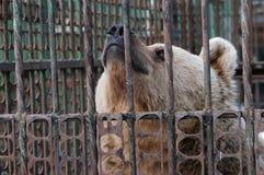熊囚禁 库存图片