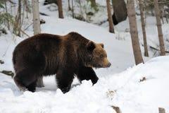 熊在冬天森林里 免版税库存照片