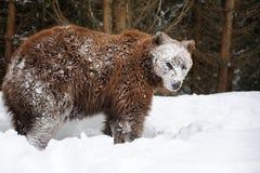 熊在冬天森林里 免版税图库摄影