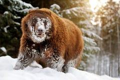 熊在冬天森林里 免版税库存图片