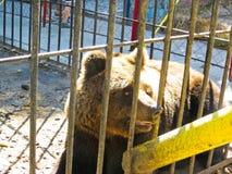 熊在动物园里 免版税图库摄影