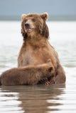 熊在它的后腿站立 免版税库存照片