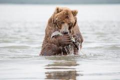 熊在它的后腿站立 免版税库存图片
