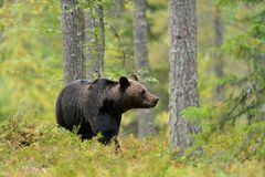 熊在森林里 库存图片