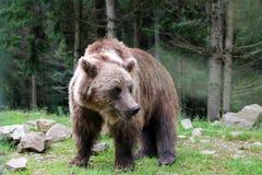 熊在森林 库存照片