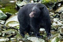 黑熊在河,温哥华岛,加拿大 免版税库存照片