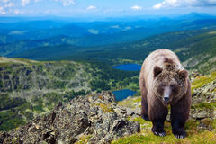 熊在野生性区域 库存图片