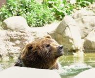 熊在水中 在动物园布尔诺里 免版税图库摄影