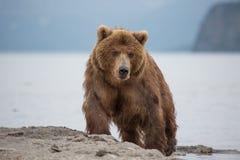 熊在水中寻找鱼 图库摄影