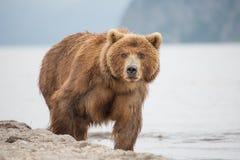 熊在水中寻找鱼 库存照片