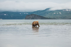 熊在水中寻找鱼 免版税库存图片