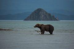 熊在水中寻找鱼 免版税库存照片