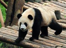 熊大熊猫走 库存图片