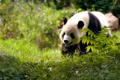 熊大熊猫 免版税图库摄影