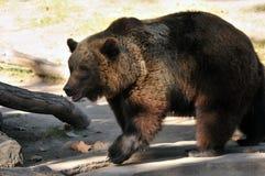 熊大褐色 库存照片