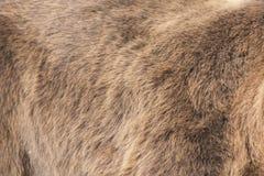 熊实际毛皮 免版税库存照片