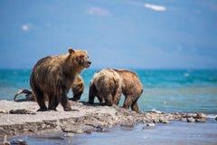 熊家庭,母亲抓了一条鱼 库存照片