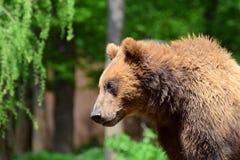 熊展示多么高它是 库存照片